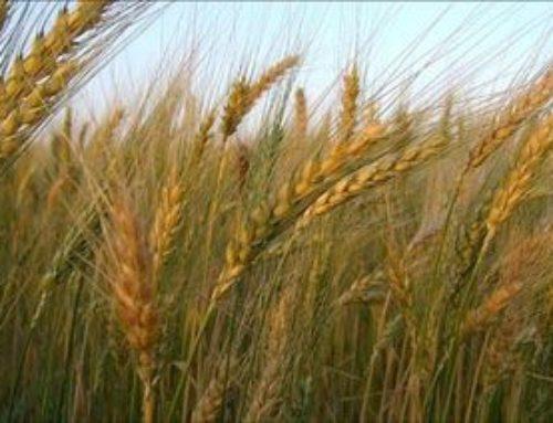 Relato para niños: el grano de trigo